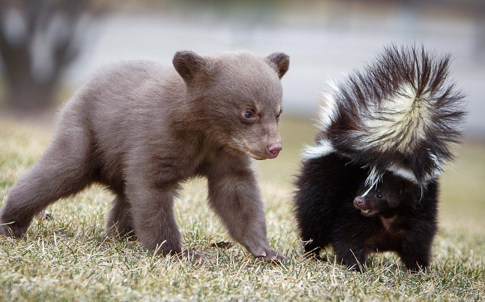 The first acquaintance of a bear with a skunk 01
