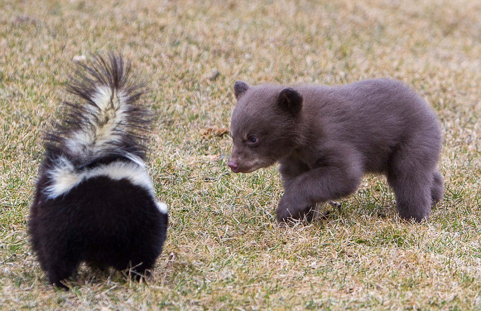 The first acquaintance of a bear with a skunk 02