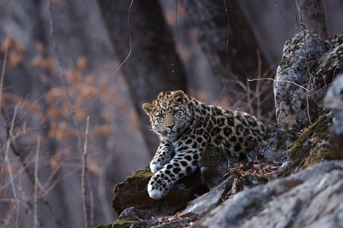WWF has released information on the number of wild cat that live on the territory of Russia 02