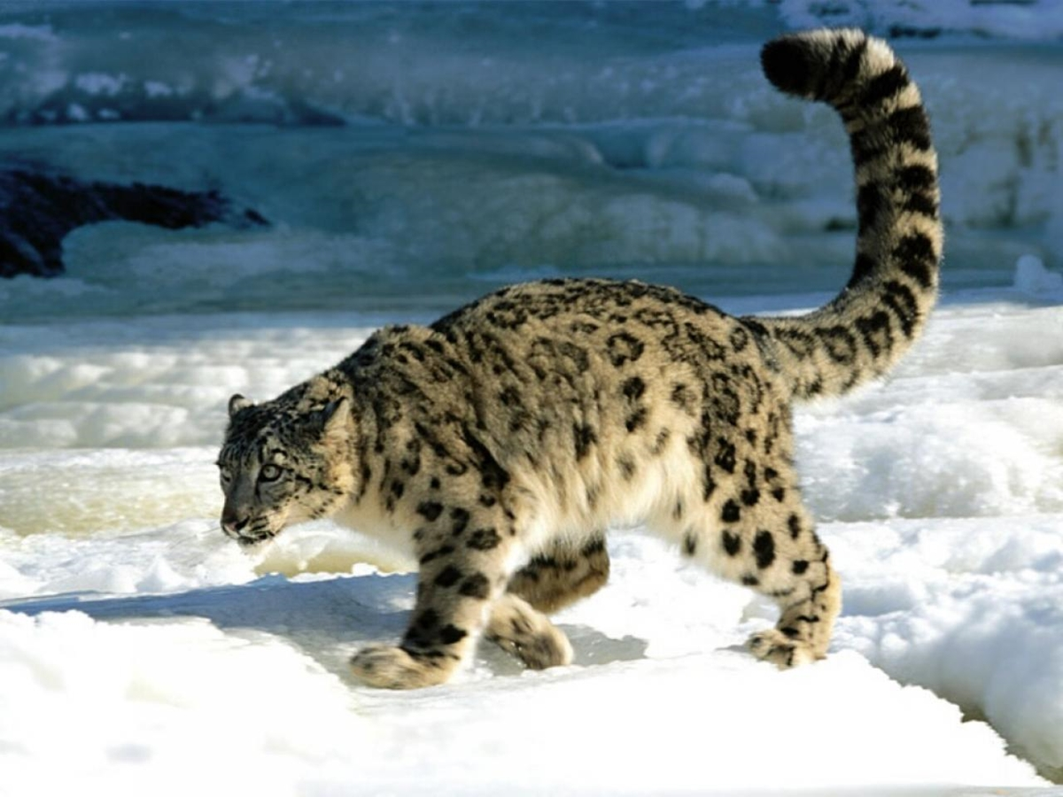 WWF has released information on the number of wild cat that live on the territory of Russia 03