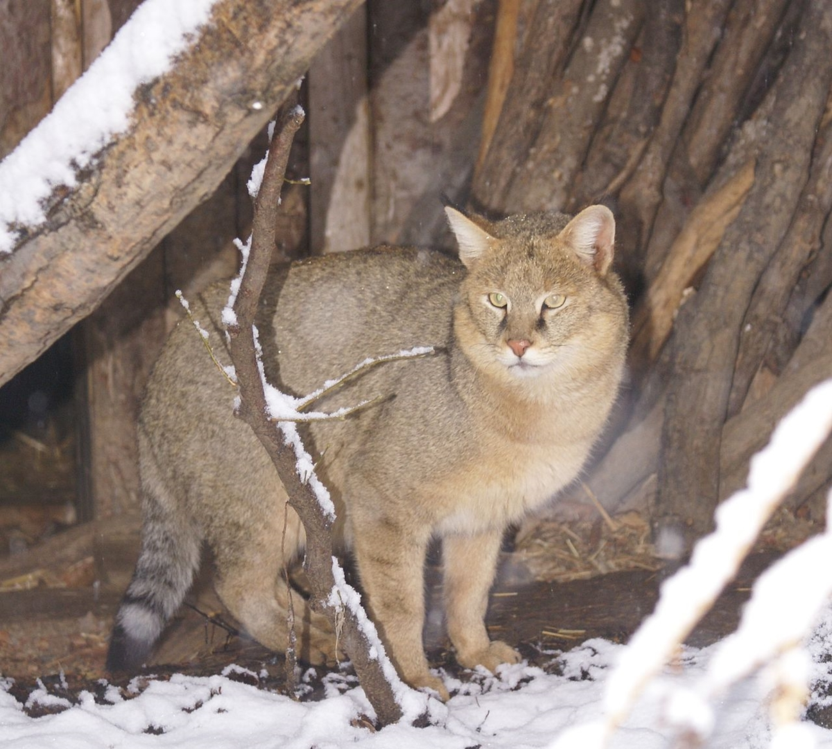 WWF has released information on the number of wild cat that live on the territory of Russia 04