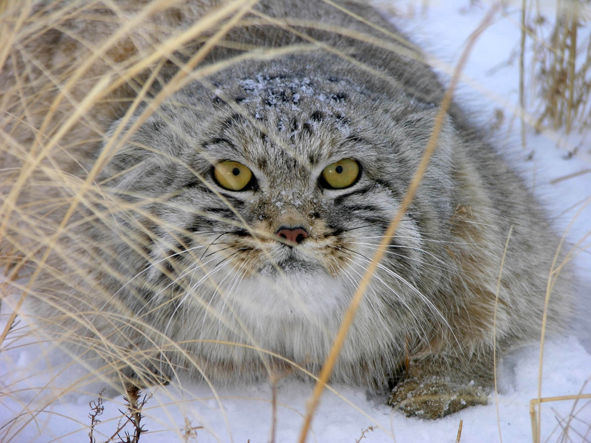 WWF has released information on the number of wild cat that live on the territory of Russia 06