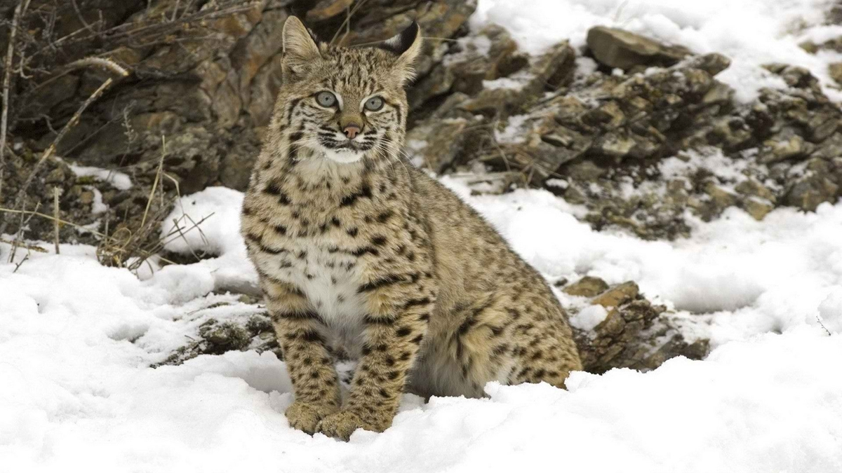 WWF has released information on the number of wild cat that live on the territory of Russia 07
