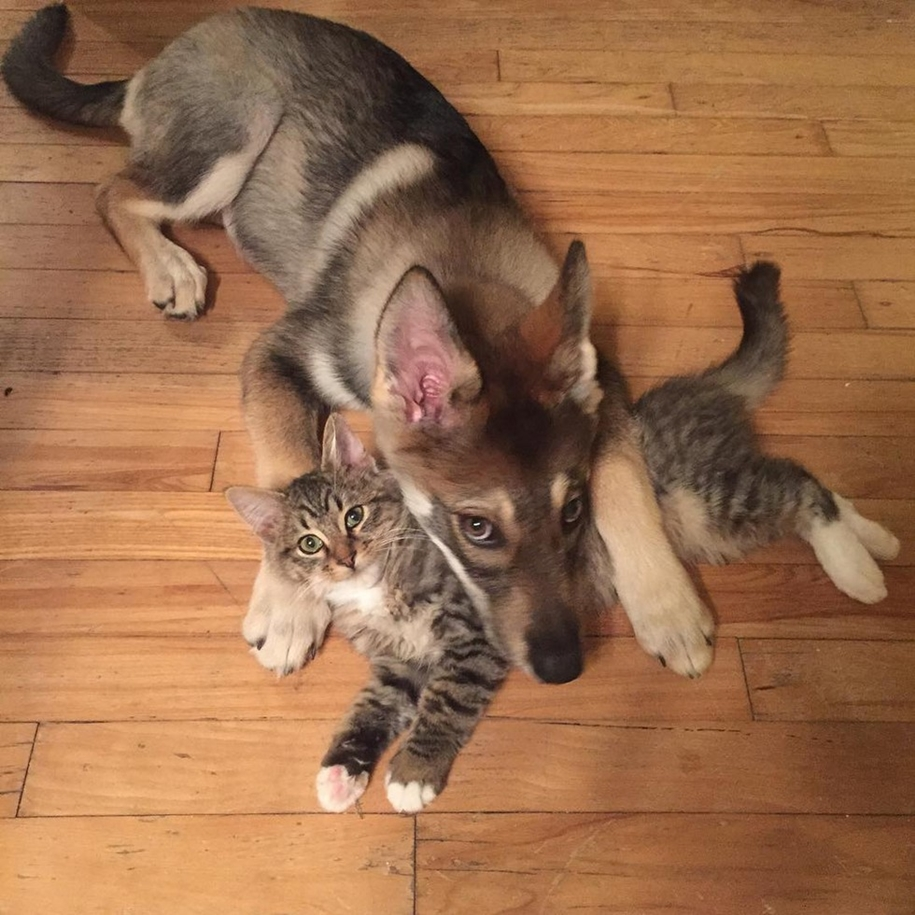 A husky puppy chose a kitten friend to the shelter 01