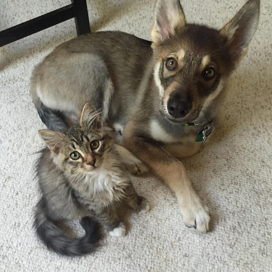 A husky puppy chose a kitten friend to the shelter 11
