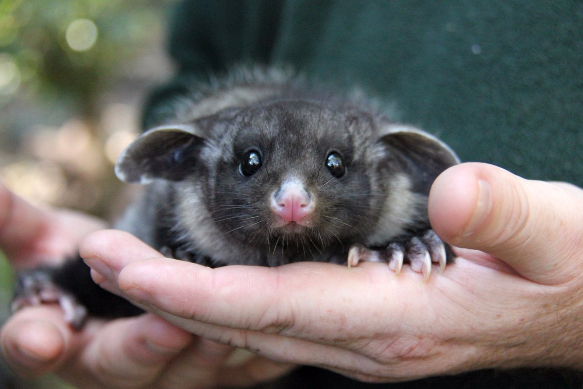 In the Australian zoo showed baby a large marsupial flying squirrels 01