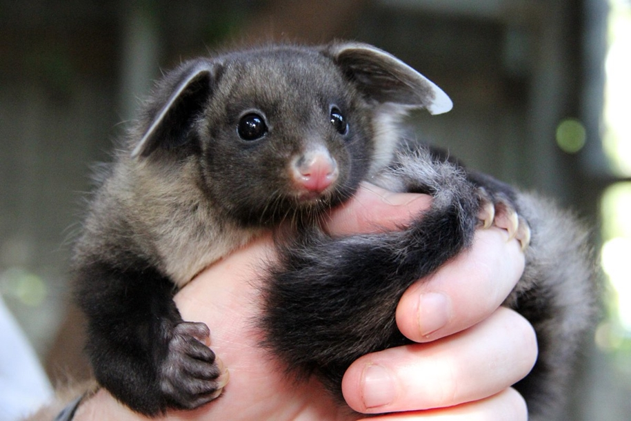 In the Australian zoo showed baby a large marsupial flying squirrels 02