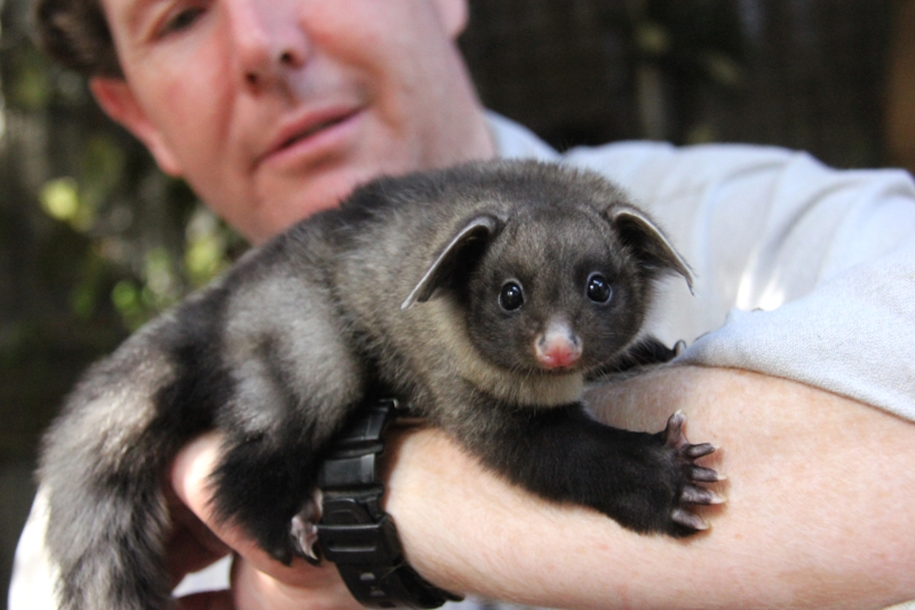 In the Australian zoo showed baby a large marsupial flying squirrels 04