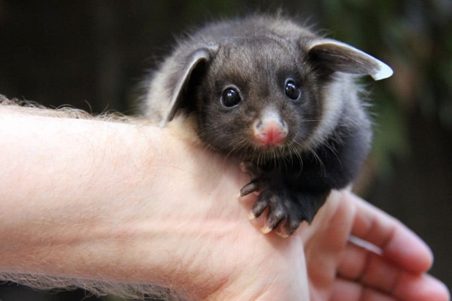 In the Australian zoo showed baby a large marsupial flying squirrels 05