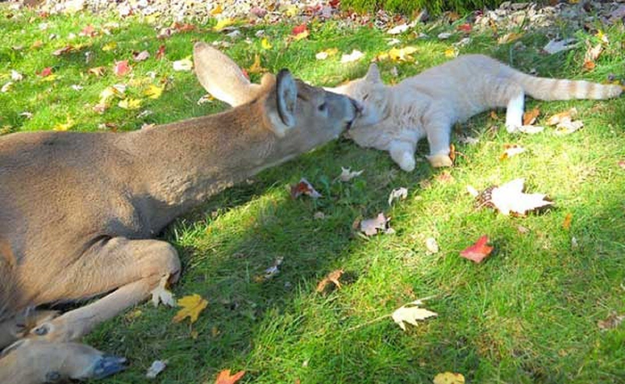 Unusual friendship of a cat and deer 01