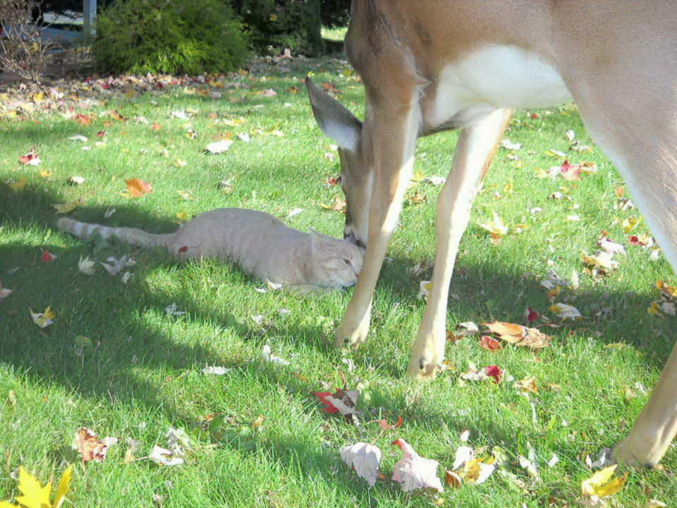 Unusual friendship of a cat and deer 02