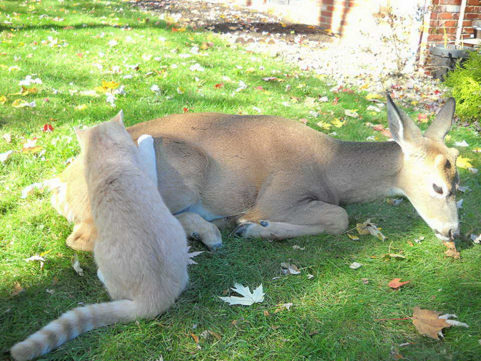 Unusual friendship of a cat and deer 03