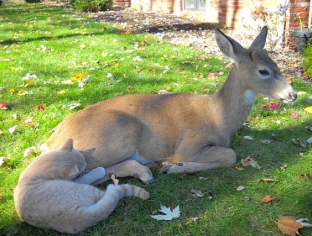 Unusual friendship of a cat and deer 04