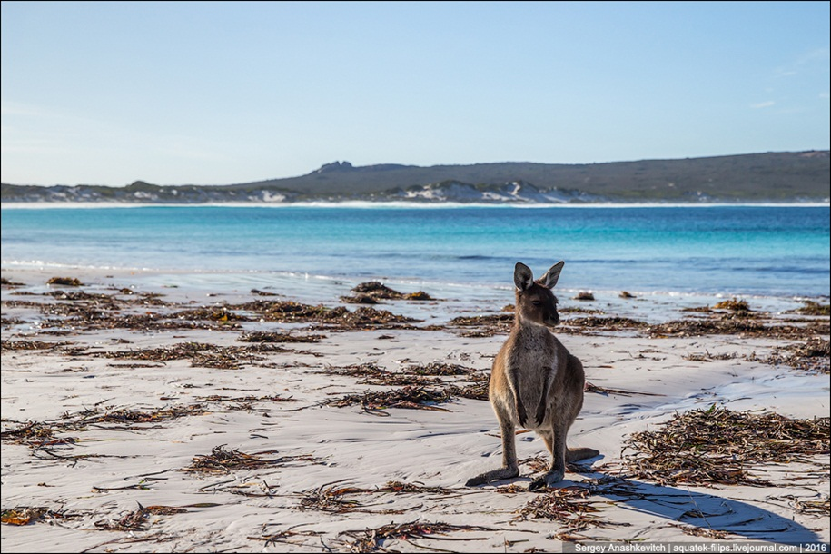 a-beach-with-a-kangaroo-one-of-the-most-famous-places-in-australia-09