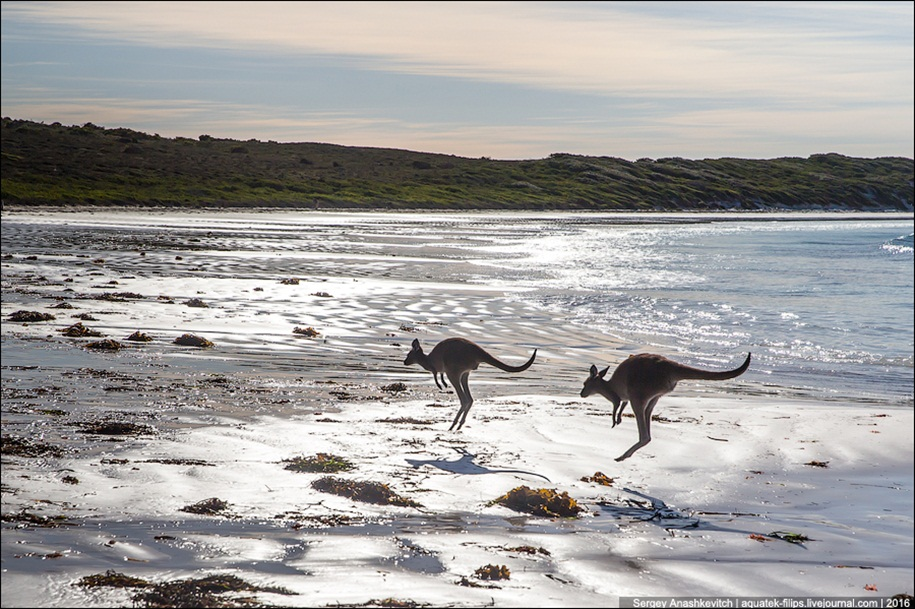 a-beach-with-a-kangaroo-one-of-the-most-famous-places-in-australia-15