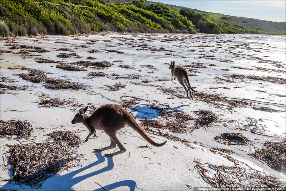 a-beach-with-a-kangaroo-one-of-the-most-famous-places-in-australia-16