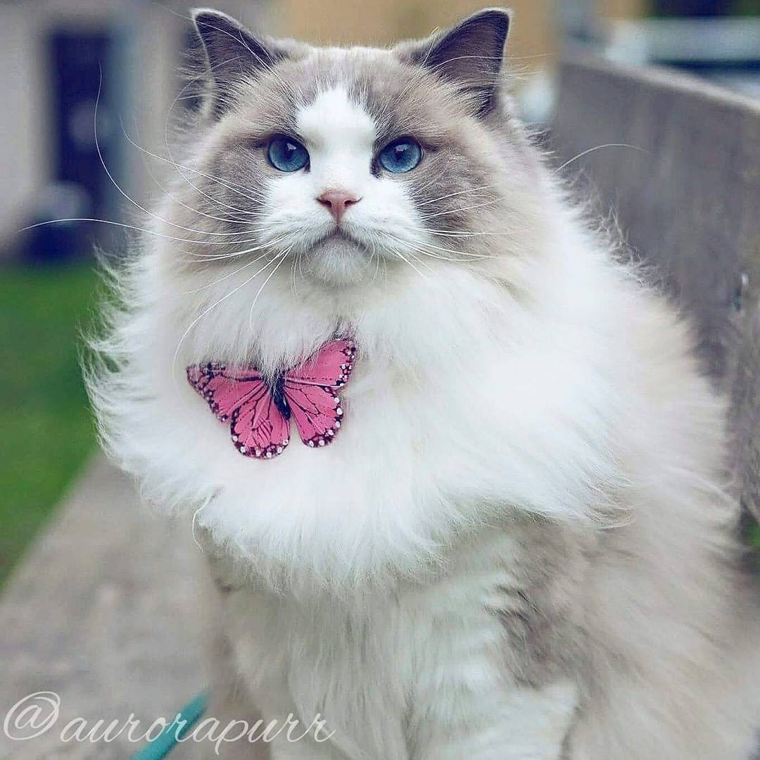 a-cat-named-princess-aurora-became-the-new-star-of-instagram-03