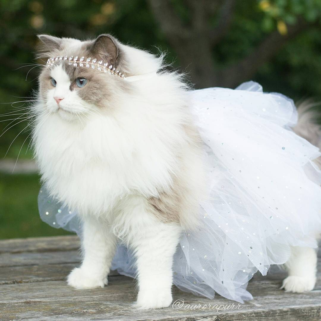 a-cat-named-princess-aurora-became-the-new-star-of-instagram-05