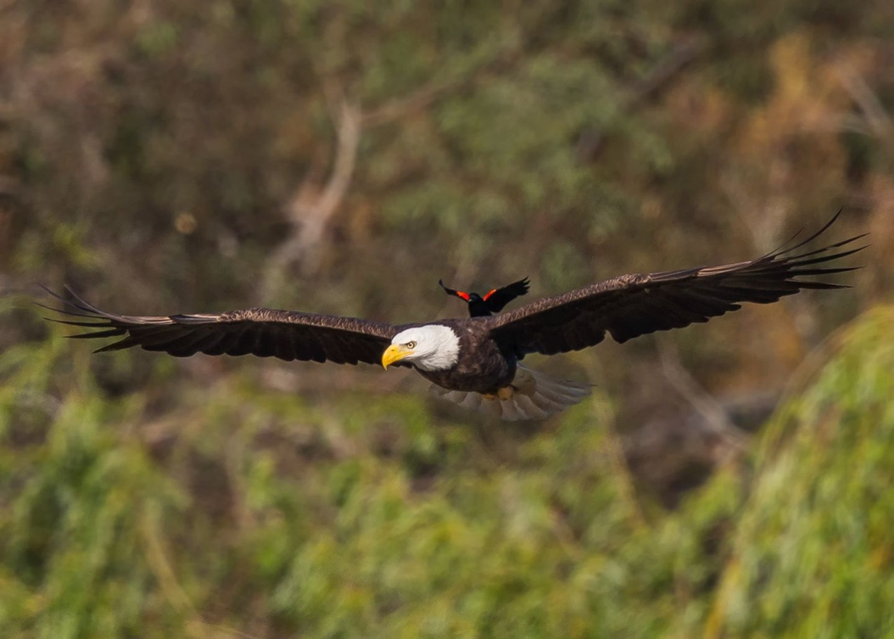 bold-blackbird-ride-on-the-back-of-a-bald-eagle-00