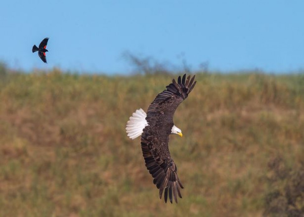bold-blackbird-ride-on-the-back-of-a-bald-eagle-04