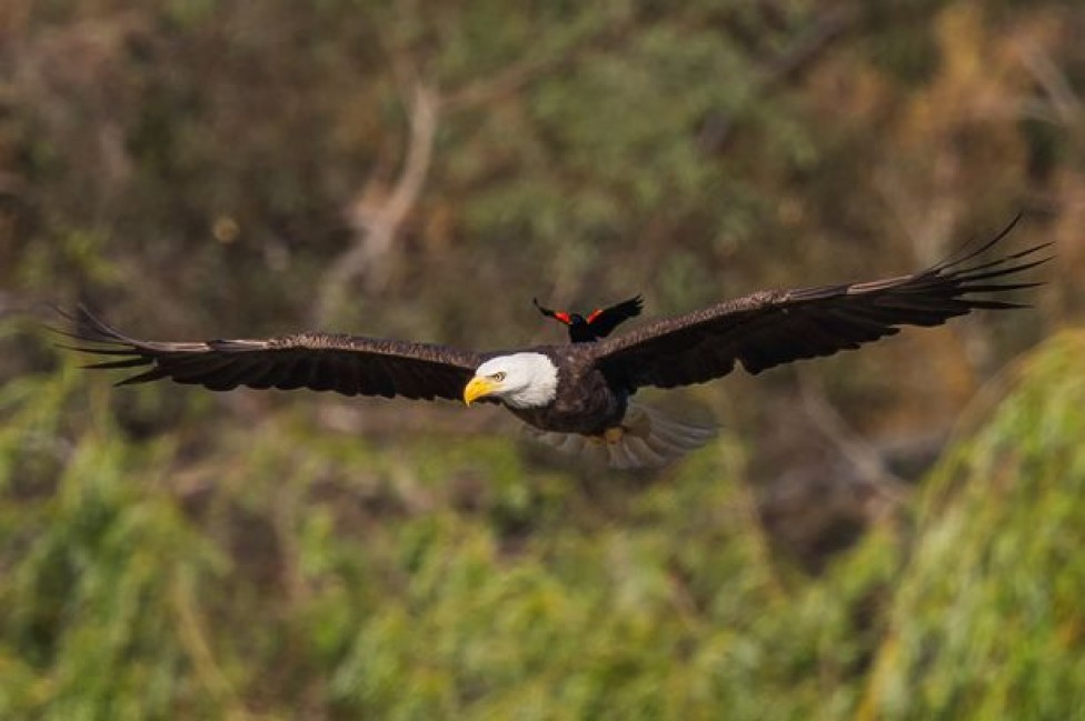 bold-blackbird-ride-on-the-back-of-a-bald-eagle-05
