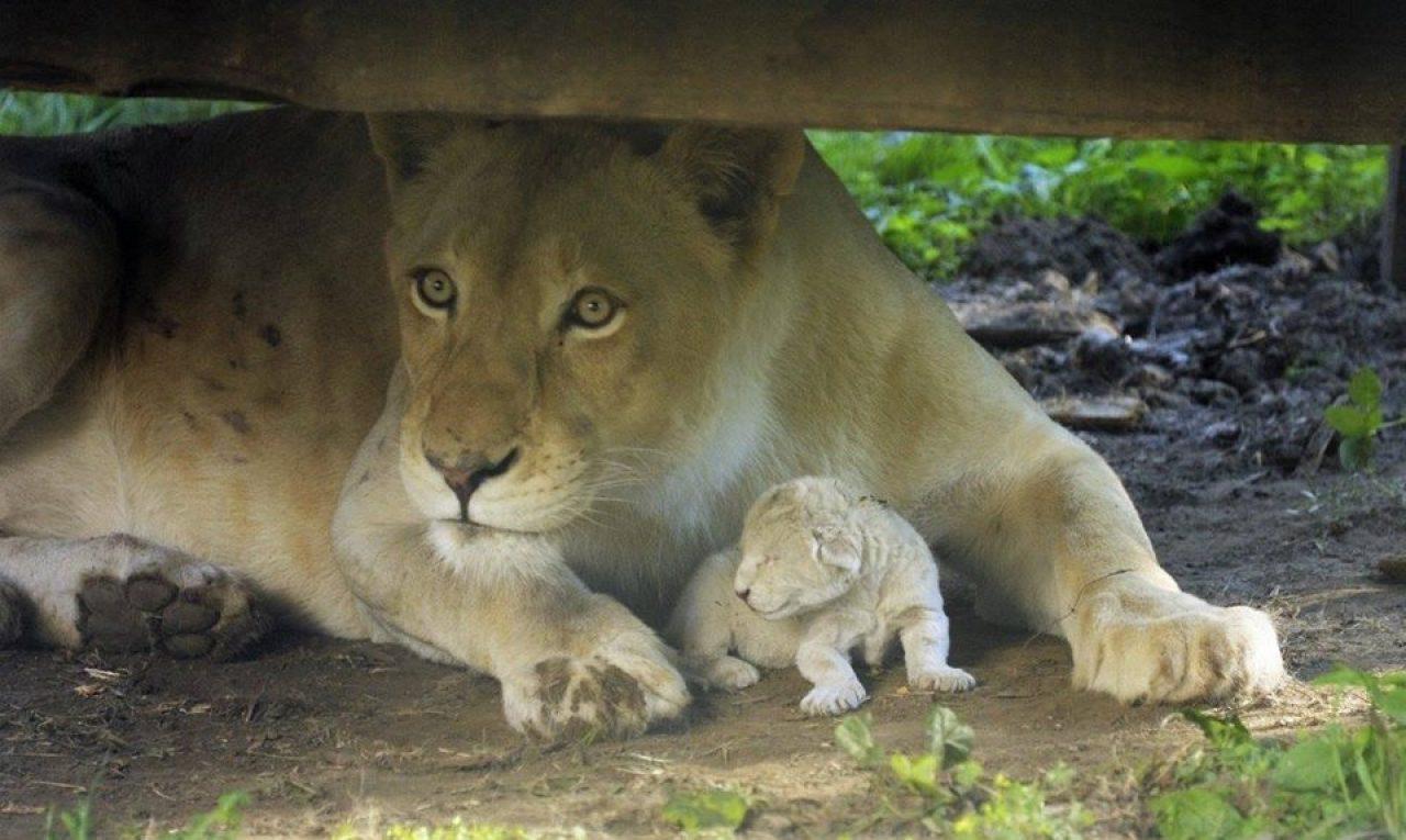 В зоопарке Венгрии на глазах у посетителей родился белый львёнок