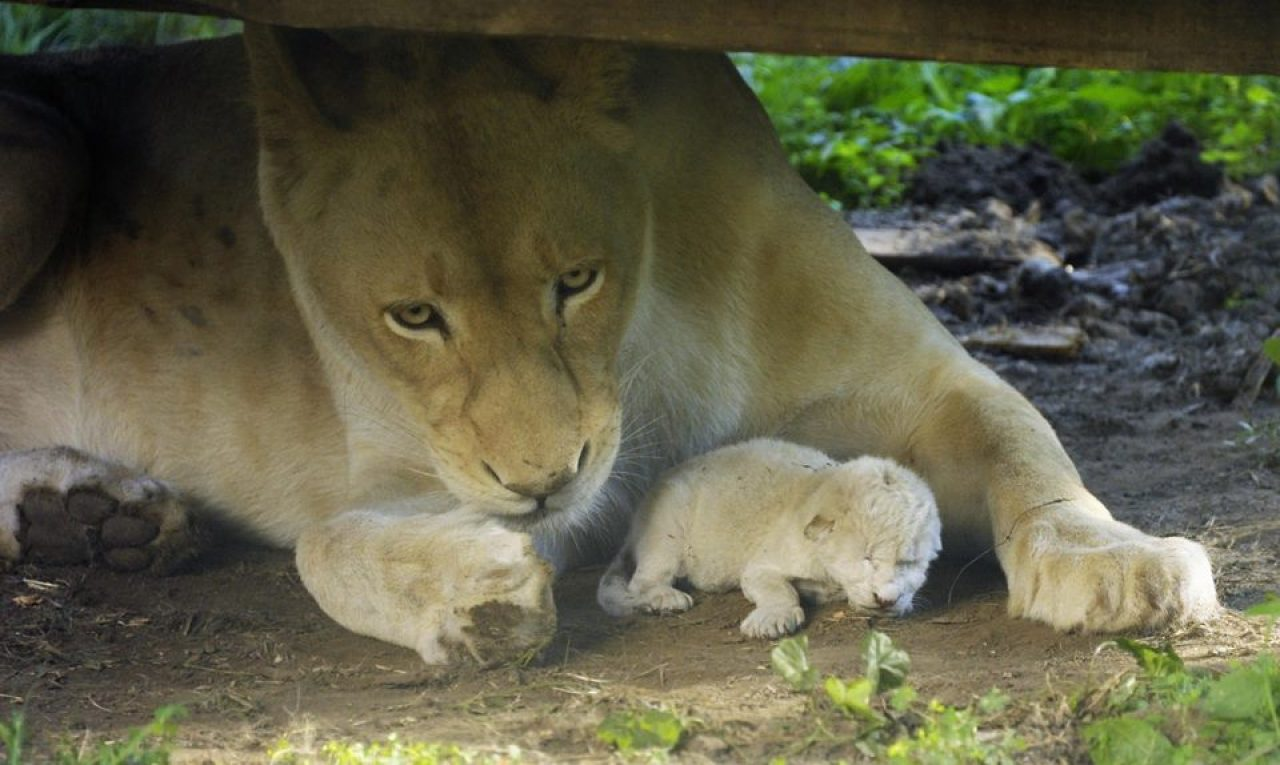 in-the-zoo-of-hungary-in-the-eyes-of-the-visitors-born-white-lion-cub-01