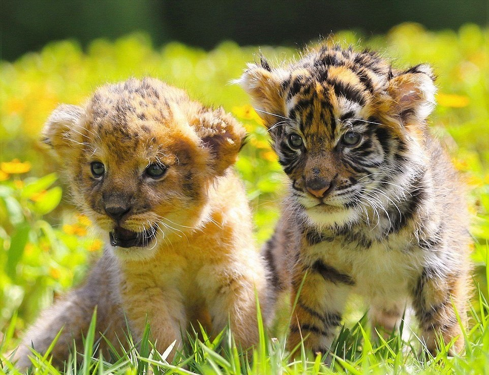 japanese-zoo-friends-lion-and-tiger-01