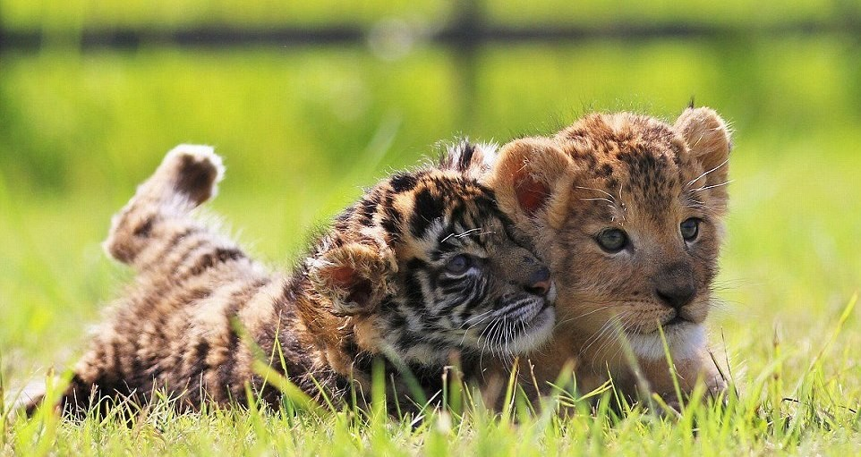 japanese-zoo-friends-lion-and-tiger-07