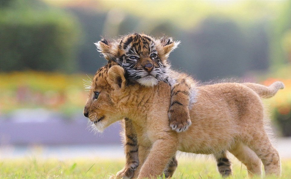 japanese-zoo-friends-lion-and-tiger-11