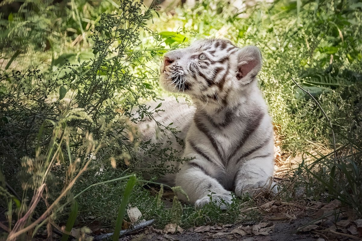 Photo walk white tiger cub in the Novosibirsk zoo 02
