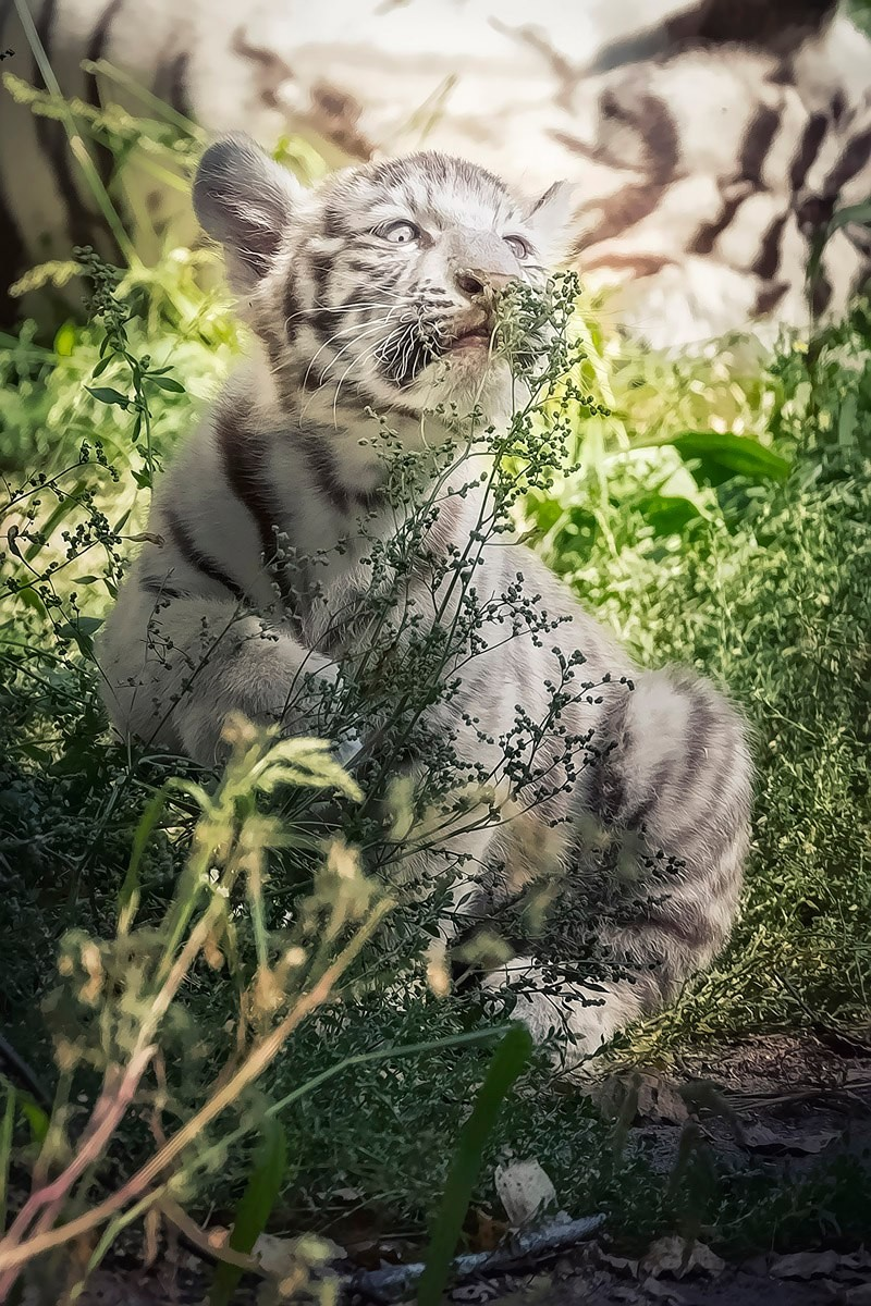 Photo walk white tiger cub in the Novosibirsk zoo 03