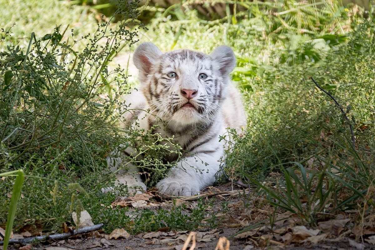 Photo walk white tiger cub in the Novosibirsk zoo 04