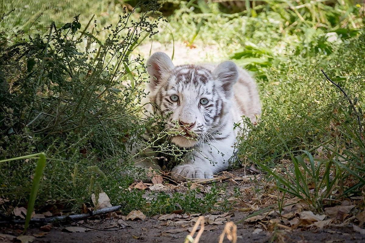 Photo walk white tiger cub in the Novosibirsk zoo 05