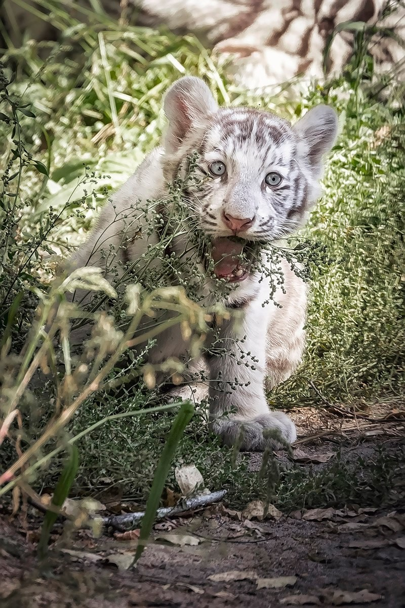 Photo walk white tiger cub in the Novosibirsk zoo 06