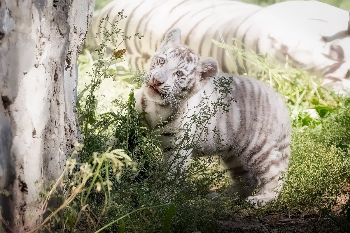 Photo walk white tiger cub in the Novosibirsk zoo 09