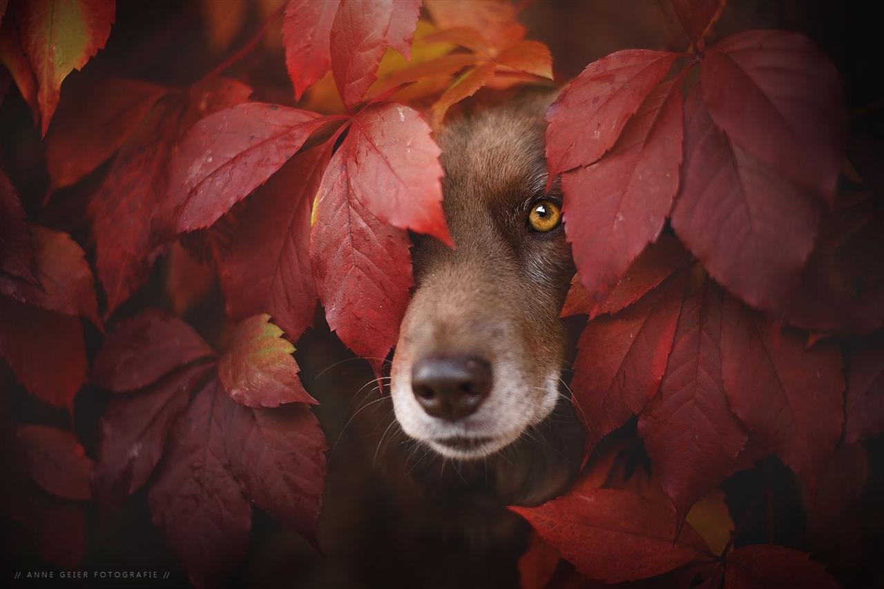Осенние собаки в фотографиях Энн Гайер