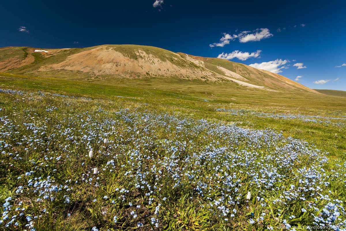 blooming-of-altay-01