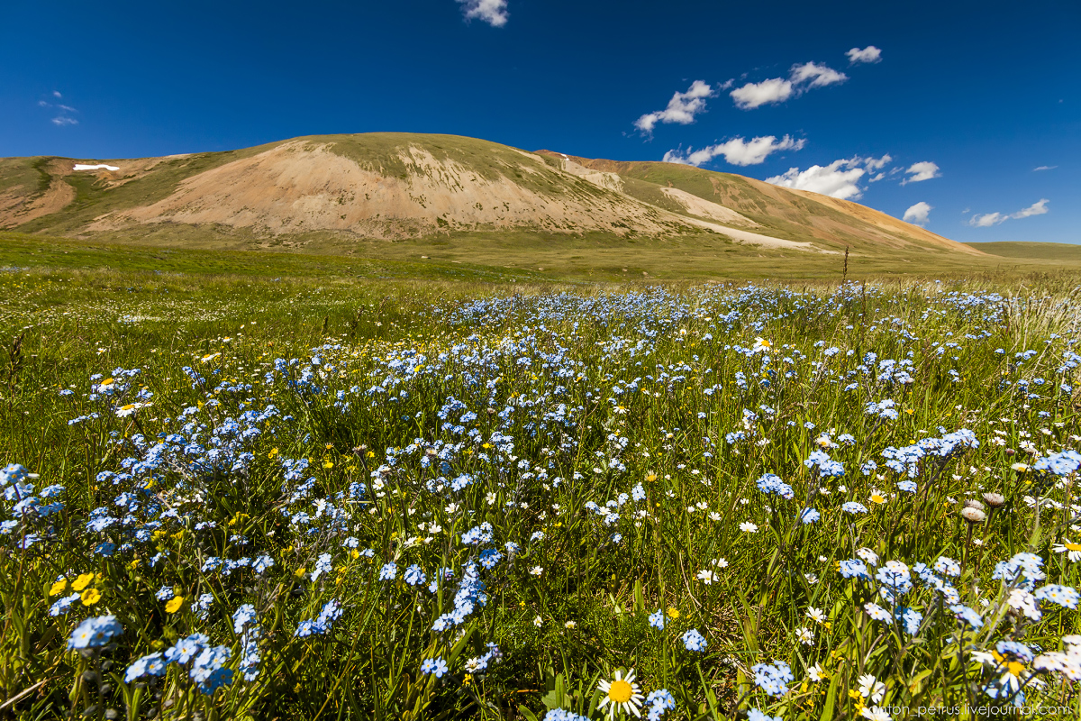blooming-of-altay-02