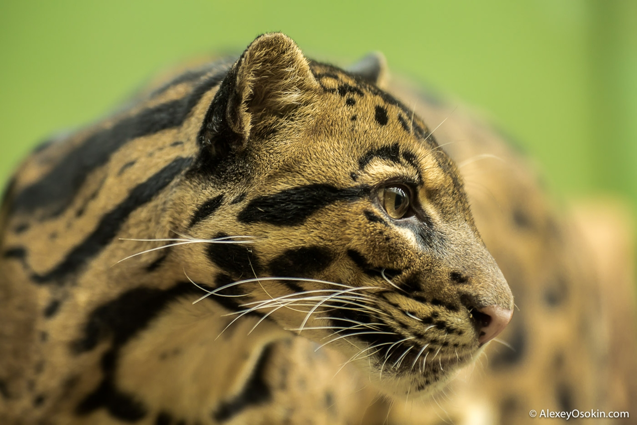 clouded-leopard-small-and-terrible-00