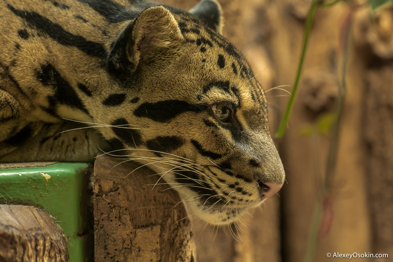 clouded-leopard-small-and-terrible-02