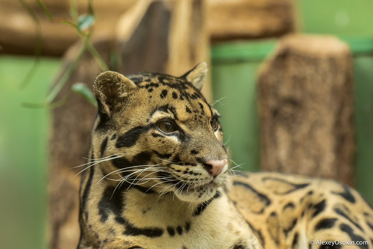 clouded-leopard-small-and-terrible-04