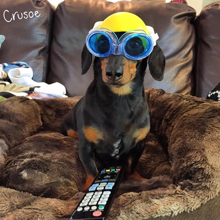 dachshund-in-funny-outfits-makes-more-money-than-the-owners-07