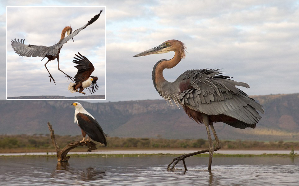 herons-fight-with-an-eagle-00