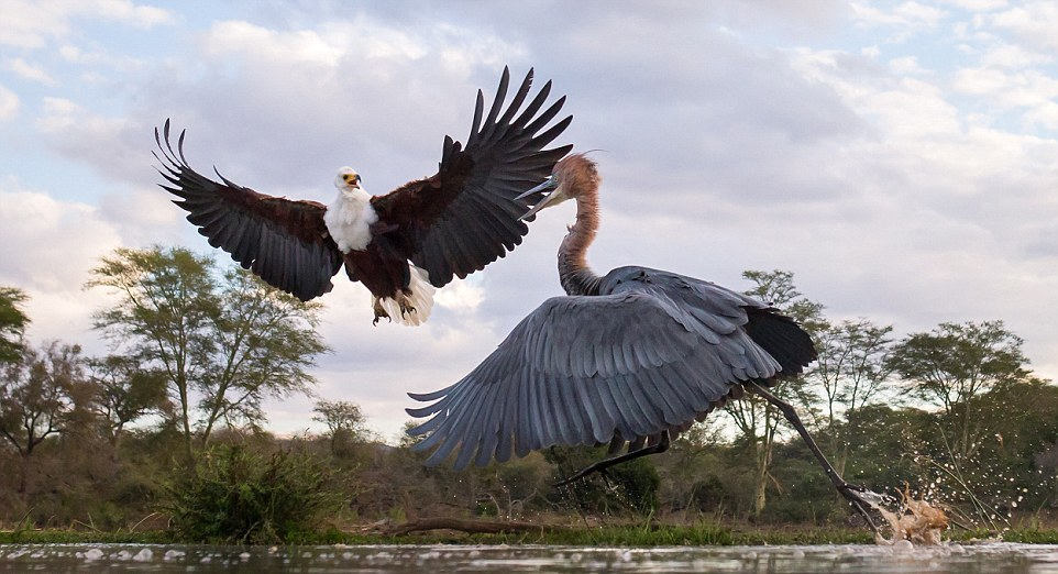 herons-fight-with-an-eagle-02