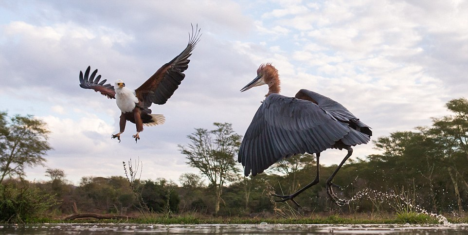 herons-fight-with-an-eagle-03