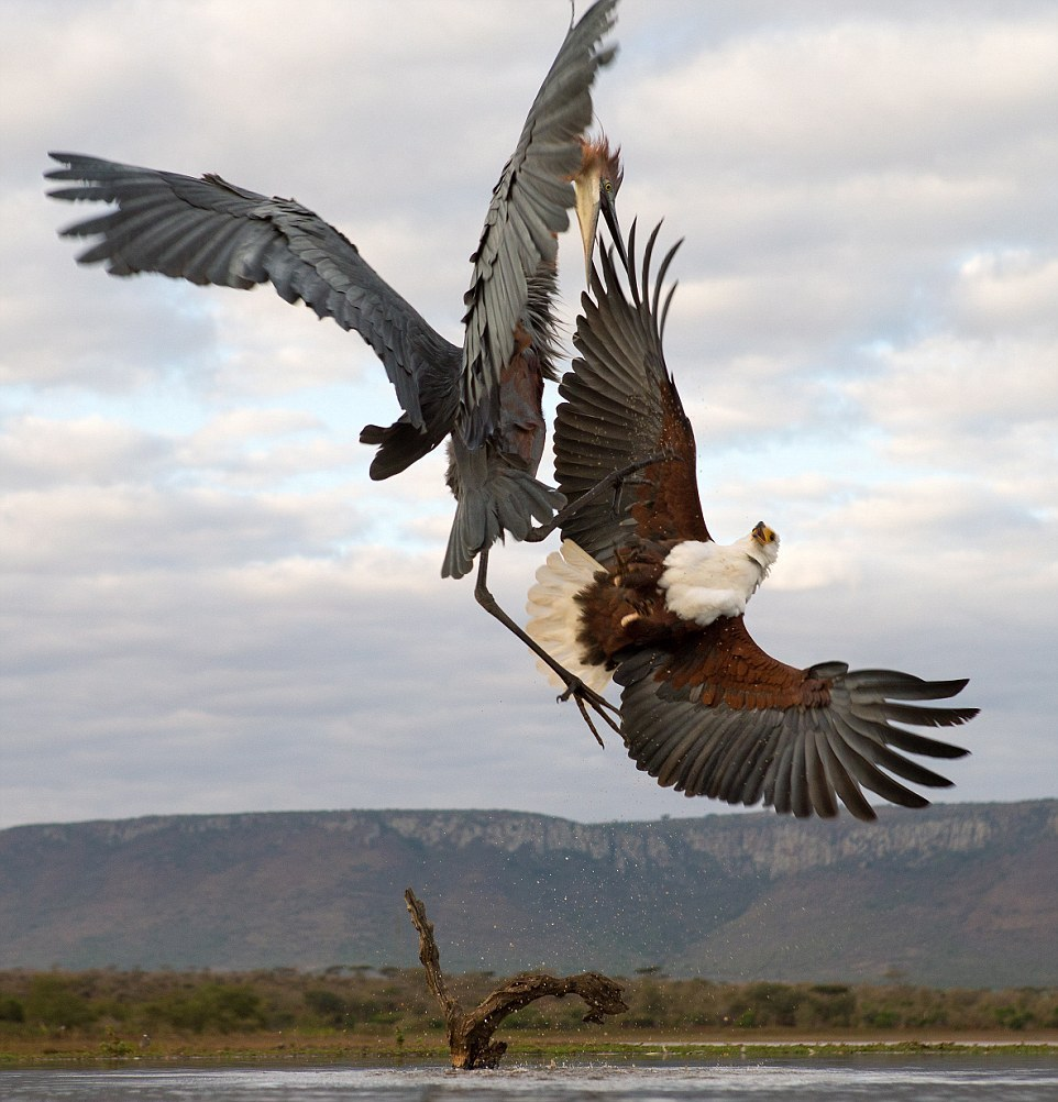 herons-fight-with-an-eagle-04