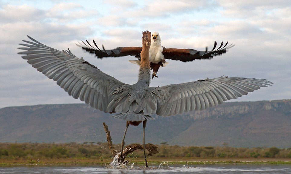 herons-fight-with-an-eagle-05