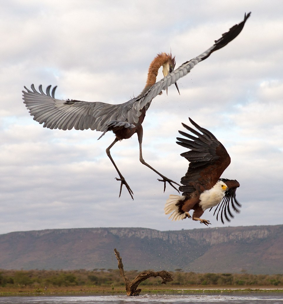 herons-fight-with-an-eagle-06