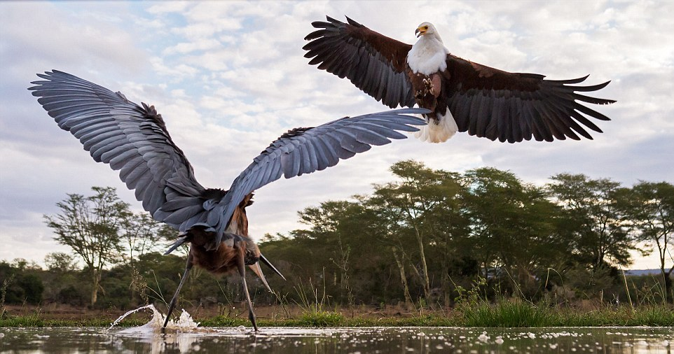 herons-fight-with-an-eagle-07